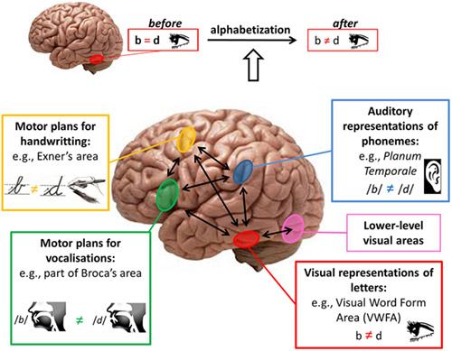 Brain areas involved in literacy acquisition